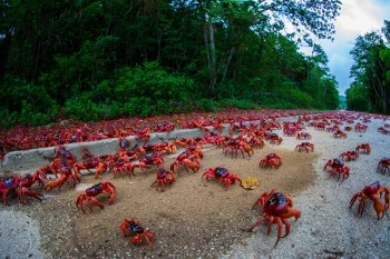 PIC FROM MERCuRY PRESS/CATERS NEWS(PICTURED: MILLIONS OF CRABS MIGRATE ON CHRISTMAS ISLAND)This is the spectacular moment millions of red crabs on Christmas Island began their migration to breed more of the fire-coloured creatures. A sea of red sways across the Australian Island from the forests to the Indian Ocean where the crustaceans will mate. It is an incredible sight that attracts thousands of islanders to see the phenomenon which lasts several weeks to and from their breeding ground and habitat. IT specialist and amateur photographer Gary Tindale, 53, from Perth, captured the start of the migration two weeks ago and saw the crabs just pour out of the jungle and take over. SEE MERCORY COPY